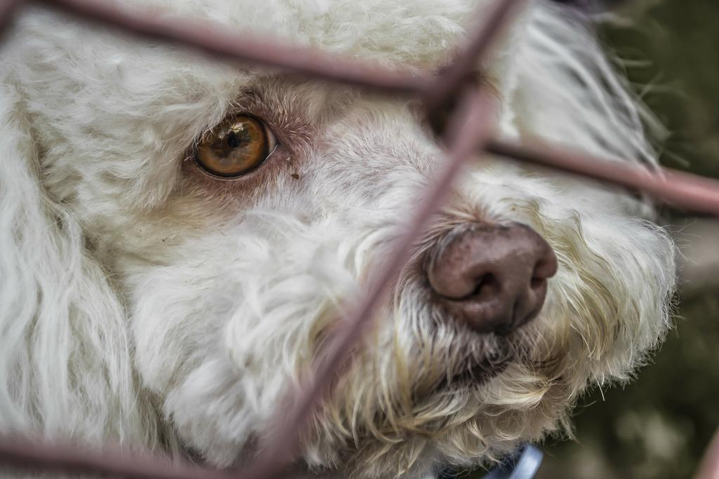 Na zdjęciu widać smutnego psa, który zerka przez siatkę ogrodzeniową.