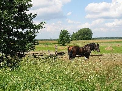 Zdjęcie przestawia konie pasące się na łące w Trzęsawicach
