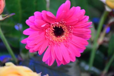 Na zdjęciu widać różowego gerbera
