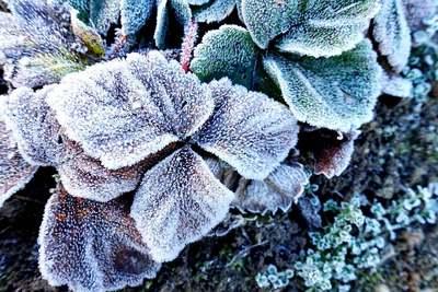 Na zdjęciu widać szron na liściach truskawki