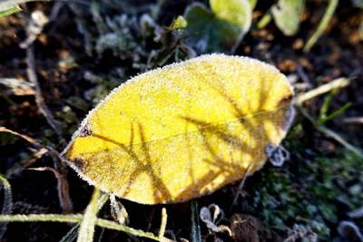 Na zdjęciu widać szron żółtym liściu