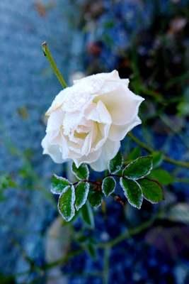Na zdjęciu widać szron na białej róży