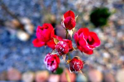 Na zdjęciu widać szron na czerwonej róży