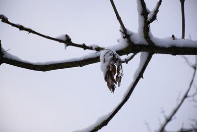 Na zdjęciu widać gałęzie drzewa pokryte śniegiem