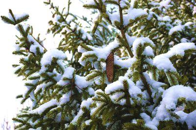 Na zdjęciu widać szyszki świerka oraz gałązki świerka pokryte śniegiem