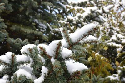 Na zdjęciu gałązki świerka pokryte śniegiem