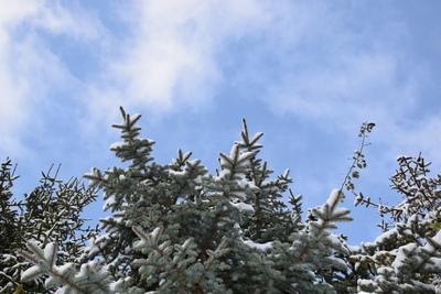Na zdjęciu gałązki świerka pokryte śniegiem i błękitne niebo