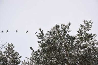 Na zdjęciu widać gałęzie sosny oraz lecące kaczki