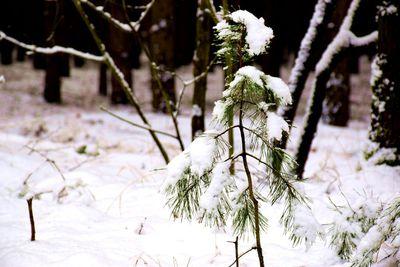 Na zdjęciu widać młode drzewko sosny pokryte śniegiem
