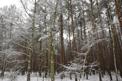 Na zdjęciu widać drzewa pokryte śniegiem