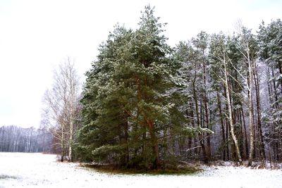 Na zdjęciu widać zieloną sosnę, łąkę, las, drzew pokryte śniegiem
