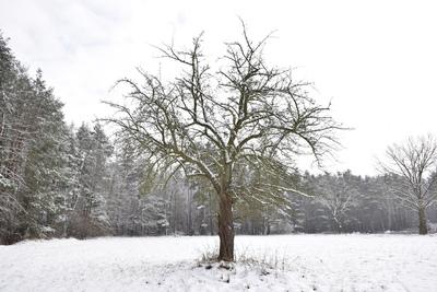 Na zdjęciu widać drzewko owocowe, łąkę i drzewa pokryte śniegiem
