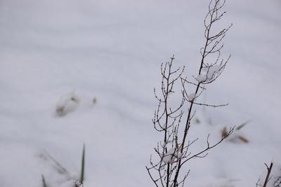 Na zdjęciu widać suchą gałązkę rośliny pokrytą śniegiem