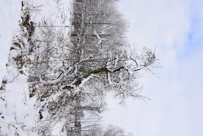 Na zdjęciu widać drzewo pokryte śniegiem