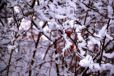 Na zdjęciu widać owoce dzikiej róży pokryte śniegiem
