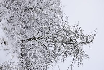 Na zdjęciu widać drzewko owocowe pokryte śniegiem