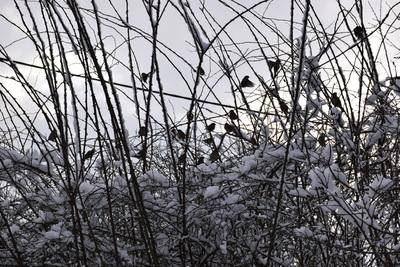 Na zdjęciu widać wróble siedzące w krzewach, wszystko dokoła pokryte śniegiem