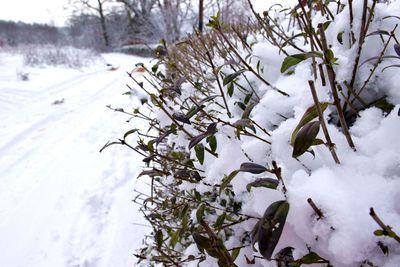 Na zdjęciu widać krzew pokryte śniegiem