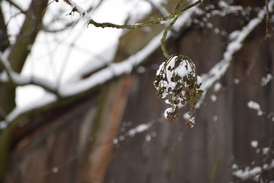 Na zdjęciu widać gałązki i suche kwiaty pokryte śniegiem