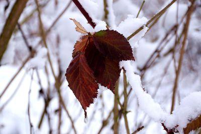 Na zdjęciu widać czerwone liście pokryte śniegiem