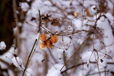 Na zdjęciu widać wysuszone owoce krzewu pokryte śniegiem