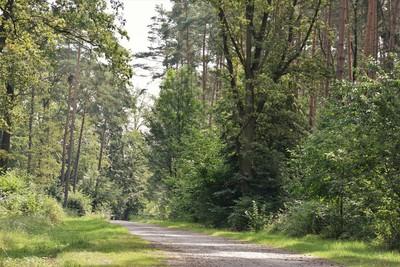 Na zdjęciu widać leśna drogę i las
