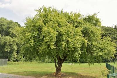 Na zdjęciu widać piękne, rozłożyste zielone drzewo - jest to owocowe drzewko