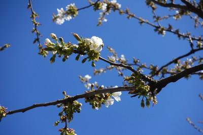 Na zdjęciu widać kwitnące kwiaty czereśni