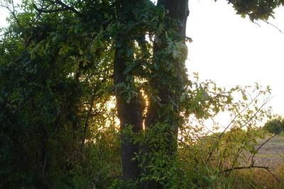 Na zdjęciu widać drzewo i chowające się za nim słońce