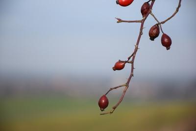 Na zdjęciu widać owoce dzikiej róży, zaś w tle panorama Zawoni
