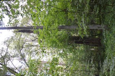 Na zdjęciu widać drzewa w lesie na terenie Gminy Zawonia