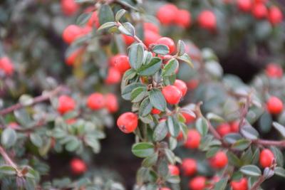Na zdjęciu widać czerwone kuleczki rośliny ozdobnej