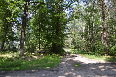 Na zdjęciu widać drzewa w lesie oraz drogę polną na terenie Gminy Zawonia