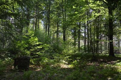 Na zdjęciu widać głaz upamiętniający Kurhany Niedarskie oraz zielony las