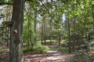 Na zdjęciu widać polną drogę i drzewa w lesie na terenie Gminy Zawonia