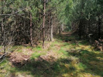 Na zdjęciu widać z polną drogę  w młodniku leśnym