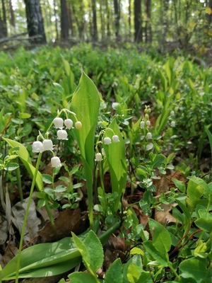 Na zdjęciu widać kwitnące konwalie w lesie