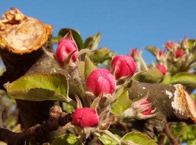 Na zdjęciu widać błękitne niebo i kwitnące kwiaty jabłoni