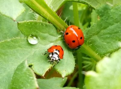 Na zdjęciu widać dwie biedronki na zielonych liściach oraz kroplę wody.