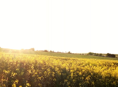 Na zdjęciu widać pole kwitnącego rzepaku