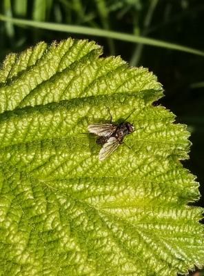 Na zdjęciu widać muchę siedzącą na zielonym liściu