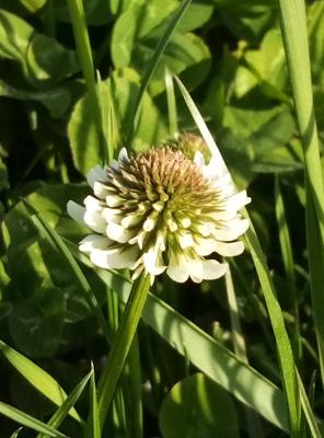 Na zdjęciu widać kwiat koniczyny