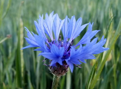 Na zdjęciu widać kwiat polny- chabra bławatka