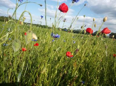 Na zdjęciu widać kwiaty polne: maki i chabry