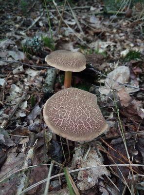 Na zdjęciu widać dwa grzyby jadalne: zajączki