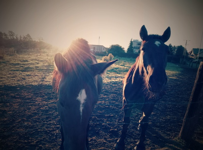 Na zdjęciu widać dwa konie